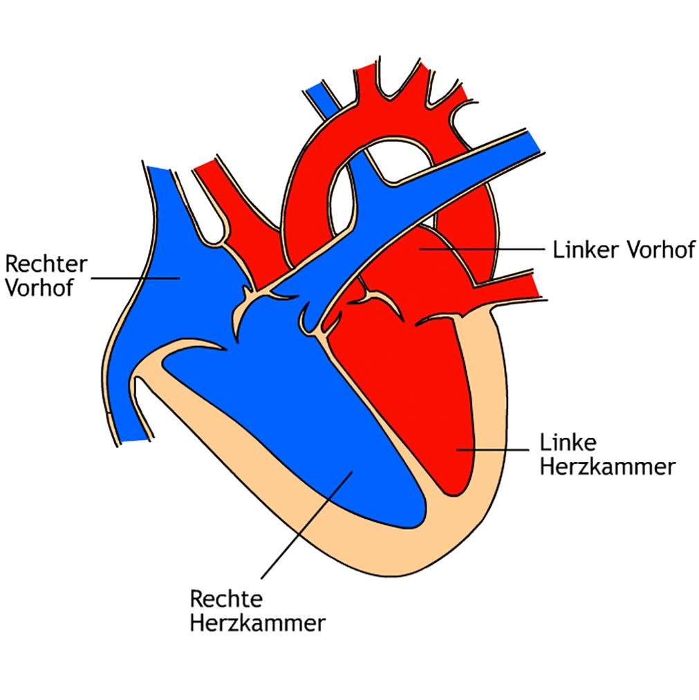 """1. Baustein """"Herz-Kreislauf-System"""" – blutdruck-optimal.de"""